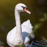 Лебедь. :: олег
