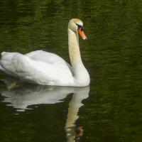 Белый лебедь на пруду :: Елена Пономарева