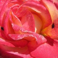 Роза и жуки :: Александр Скамо