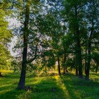 Солнечные лучи в лесу :: Сергей Тагиров