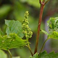 Будущая виноградная гроздь. :: Анатолий. Chesnavik.