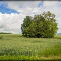 оз. пшеница :: Евгений Khripp