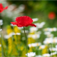 poppies_5 :: yameug _