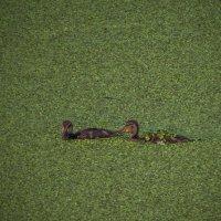 по зеленому полю из ряски :: Сергей Цветков