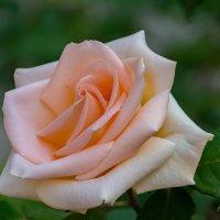 Розы - прекрасные создания человека. :: Александр Пушкарёв