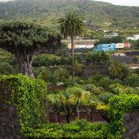 Драконово дерево или миллион оттенков зеленого :: Виктор М