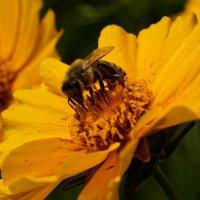 Пчелка :: Василий Малыш