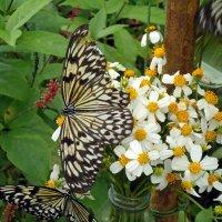 Бабочка и Идея Левконоя :: Вера Щукина