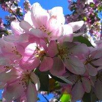 Красота цветения :: Владимир Звягин
