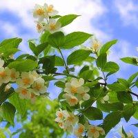 Жасмин цветет, роняя лепестки… :: Валентина ツ ღ✿ღ
