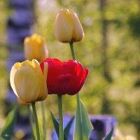 Тюльпан и Тюльпанна :: Владимир Гилясев