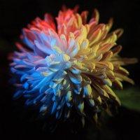 хризантема разноцветная :: Evgeny