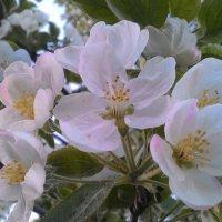 Цветение яблони :: Владимир Звягин