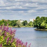 Сирень на озером Разлив 3 :: Виталий