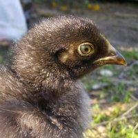 Маленький цыпленок :: lady v.ekaterina