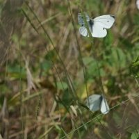 Полёт бабочки-белянки :: Balakhnina Irina