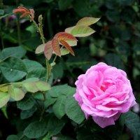Розовая радость в лепестках шиповника. :: Валентина ツ ღ✿ღ