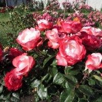 Роза – символ совершенства :: Наталья (D.Nat@lia)