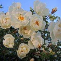 Шиповник цветет :: Павлова Татьяна Павлова