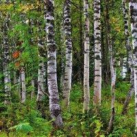 Берёзовый лесок :: Сергей Чиняев