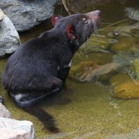 Тасманийский дьявол :: Антонина