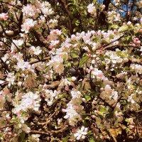 Цветы яблони. Акварель :: Фотогруппа Весна.