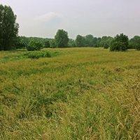 Травы на лугу :: Alexander Andronik