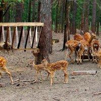 Пятнистые олени. :: Борис Митрохин