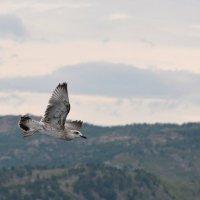 Серая чайка на Бухтарминском водохранилище. :: Мила Мит