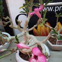 Роза пустыни. :: Валерьян