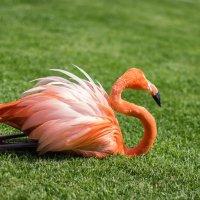 Фламинго на привале. :: Aleksandr Papkov