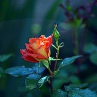 Аленький цветочек :: BoykoOD