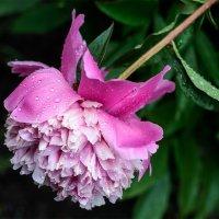 Пион после дождя :: Женечка Зяленая