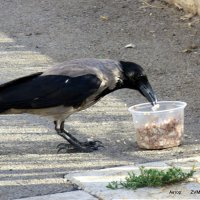 Ворона. :: Валерьян