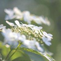 Ой цветёт калина.. :: Ольга Лиманская