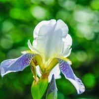 Цветок ириса :: Сергей Тагиров