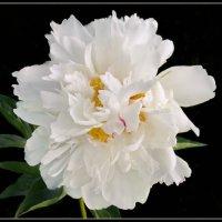 Белый пион :: lady v.ekaterina