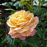 """""""...Источают розы, в дивном цвете, Аромат божественный в саду...."""" :: Galina Dzubina"""