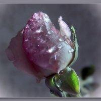 Капля росы в бутоне розы.... :: Людмила Богданова (Скачко)