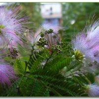 Цветов мимозы розовый  дым... :: Людмила Богданова (Скачко)