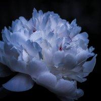Цветок пиона поздним вечером :: Сергей Тагиров
