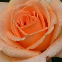 Прекрасная роза :: Татьяна Евдокимова