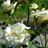 Июнь,городские розы... :: Тамара (st.tamara)
