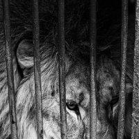 печальный лев :: Амбарцумян Тигран