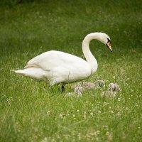 Продолжение репортажа о лебедях в нашем парке) :: Татьяна Каримова