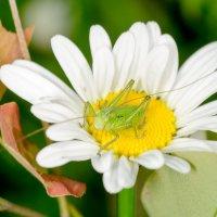 В цветке сидел кузнечик :: Сергей Казаченко