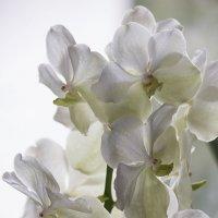 Орхидея ванда белая :: Ирина Приходько