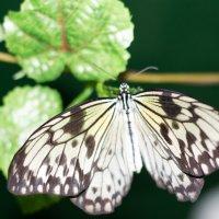 бабочки :: Ирина Холодная