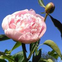 Розовый ПИ-ОН :: Mariya laimite