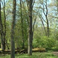грабовый лес :: Михаил Жуковский